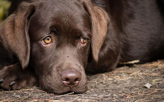 Waffel - Labrador